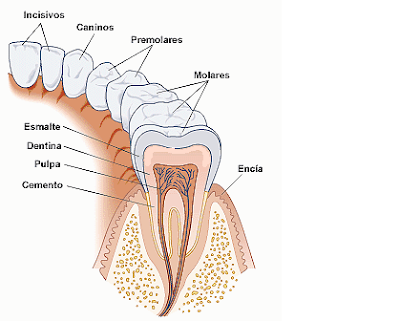 piezas dentales permanentes, partes de una muela