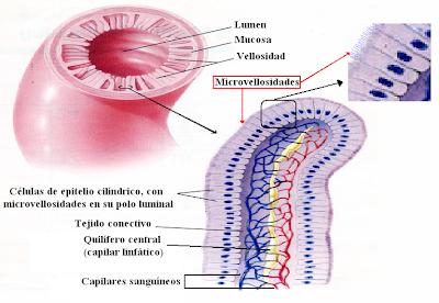 vellosidades y microvellosidades del intestino delgado