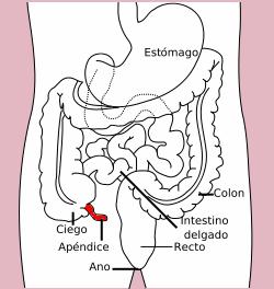 El apéndice vermiforme (o apéndice cecal) se aloja en el cuadrante inferior derecho del abdomen. Carece de una función significativa.