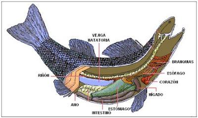 digestion digestivo de los peces