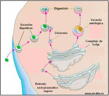 mecanismo de acción del lisosoma