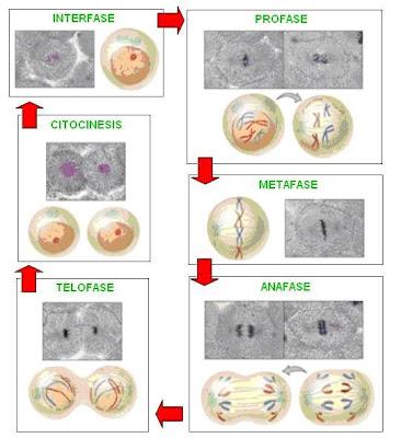 síntesis de la mitosis