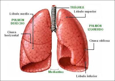 Lóbulos pulmonares