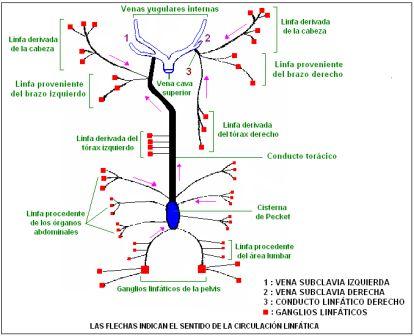 CIENCIAS BIOLOGICAS: ANATOMIA Y FISIOLOGIA DEL SISTEMA LINFATICO