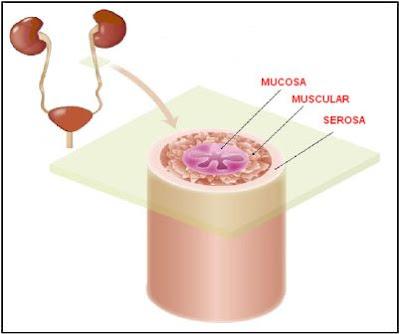 capas del uréter