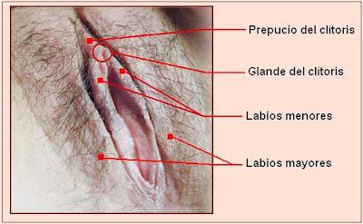 labios vulvares y clítotis