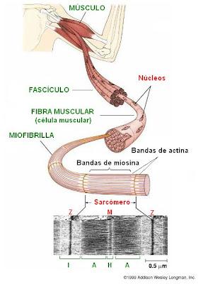 bandas de actina y de miosina