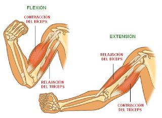 movimientos de flexión y de extensión