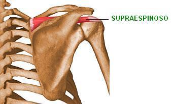 músculo supraespinoso