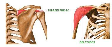 músculo supraespinoso y deltoides