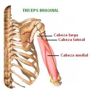 partes del tríceps braquial