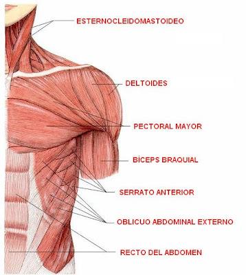 músculos superiores del cuerpo