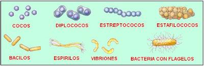 diferentes formas de las bacterias