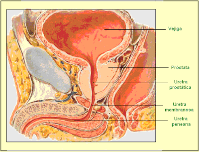 órganos internos masculinos