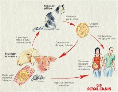 Ciclo biológico de T. gondii