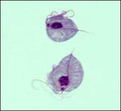 T. vaginalis