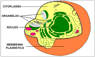 esquema de una célula eucariota