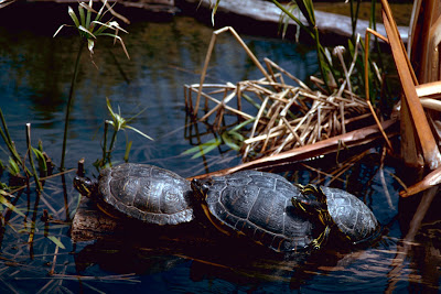 Red Eared Sliders (Trachemys scripta elegans)