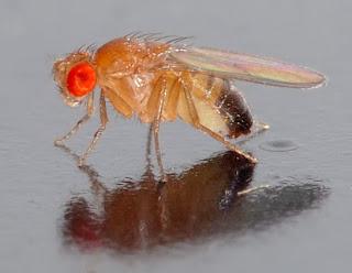 Drosophila melanogaster fly Author André Karwath aka Aka