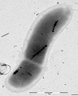 Strings of magnetic nanoparticles within bacteria