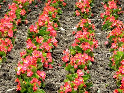 Red Wax Begonias (Begonia x semperflorens-cultorum)
