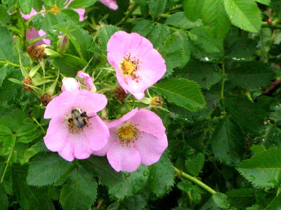 Bee Pollenating Pink Flowers