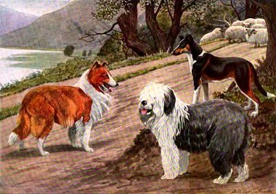 Collie, Smooth Collie, English Sheep Dog