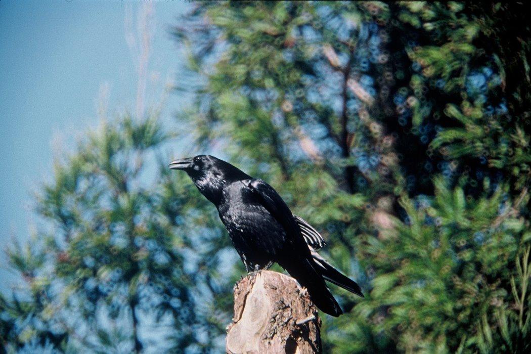 Crow Common Raven (Corvus corax)