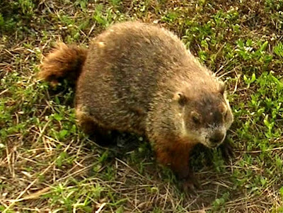 Public Domain Clip Art: Groundhog Day (Marmota monax)