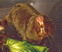 Damaraland mole-rat
