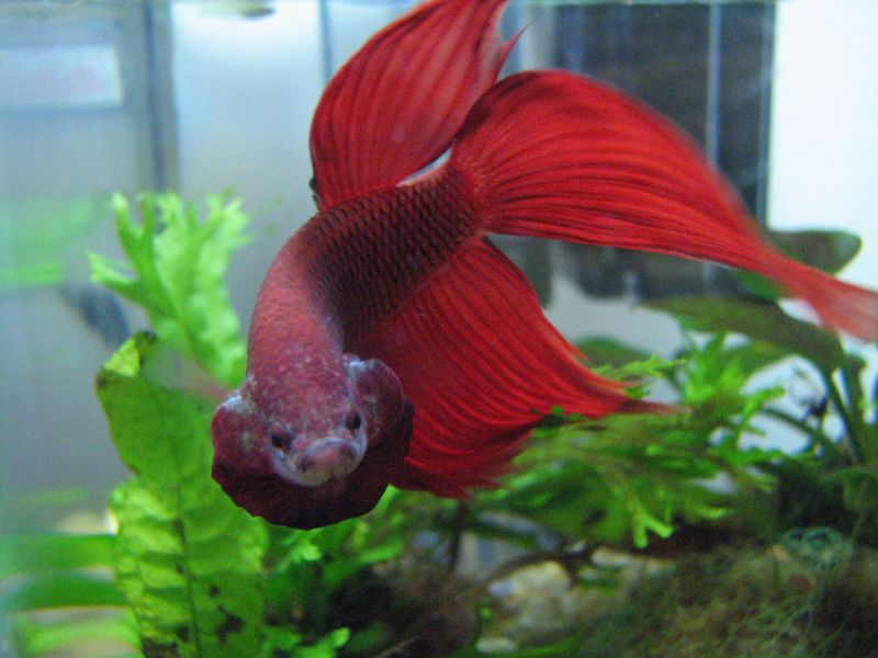 Worried for Why do betta fish fight