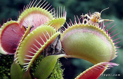 Venus Flytrap; The Carnivorous Plants
