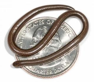 ular terkecil di dunia, binatang terkecil di dunia