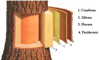 Ciencia y tecnologia de la madera composici n y for Que es la veta de la madera
