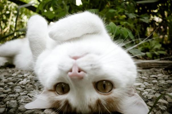 белый и пушистый кот редискин