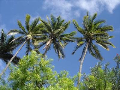 Fond d'ecran - Cocotiers et ciel bleu