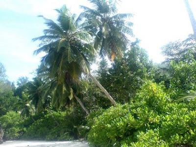 Cocotiers aux Seychelles