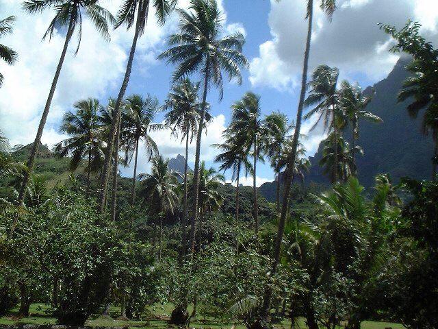Grands cocotiers à Moorea
