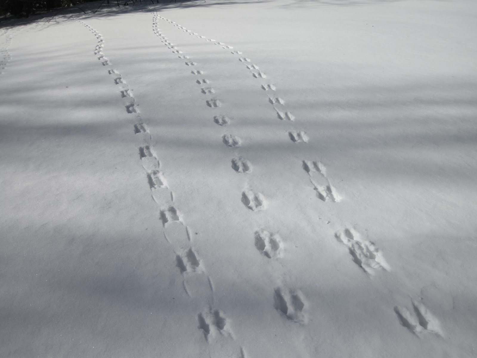 Animal tracks in sand snow nature on the edge of new york city so that is how you can identify if tracks were made by someones pet dog or a wild fox or coyote publicscrutiny Choice Image