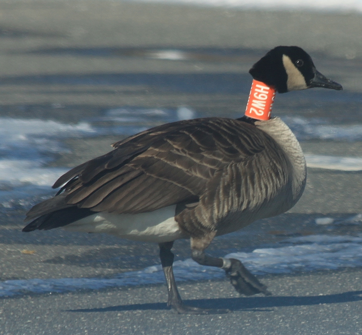 canada goose discount new york
