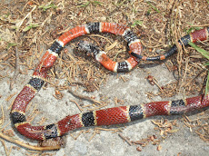 2-1/2 Foot Coral Snake