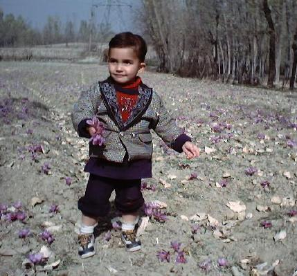 Saffron Fields in Kashmir