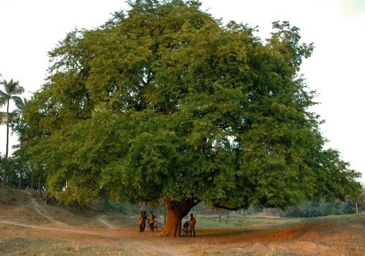 what i learned the book of enoch chapter , tamarind trees, Beautiful flower