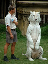 white tigers are cool