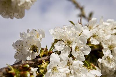 Jumilla Floración de los Cerezos en la Ceja. Pguardio