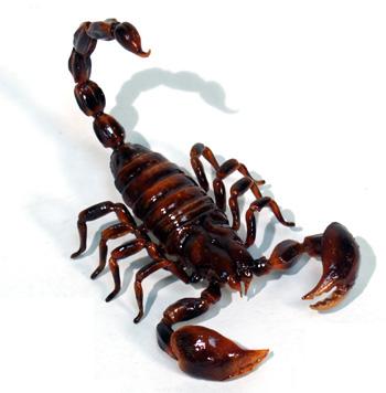 http://4.bp.blogspot.com/_ToEP0R3EiAU/TMOTOFJyiDI/AAAAAAAAAJM/dFHamwhAx9A/s1600/scorpion_1077-01.jpg