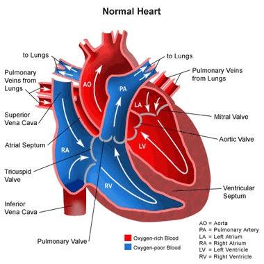 Fetus Heart Diagram