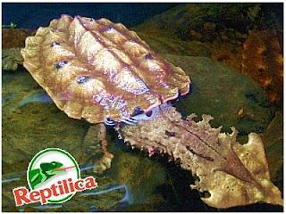 Kura Kura Mata-mata( Chelus Fimbriatus)