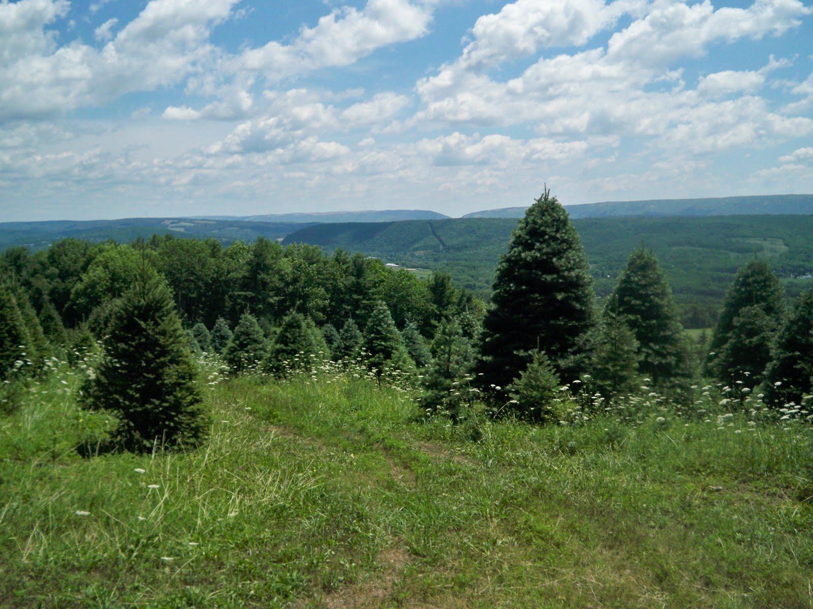 douglas fir lehigh gap in the distance from western field - Christmas Tree Hill