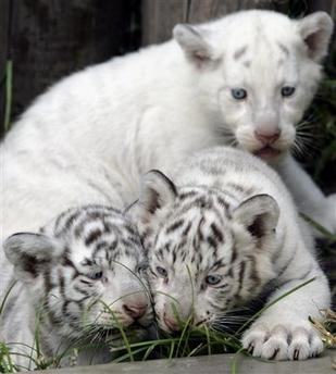 White tiger cubs together